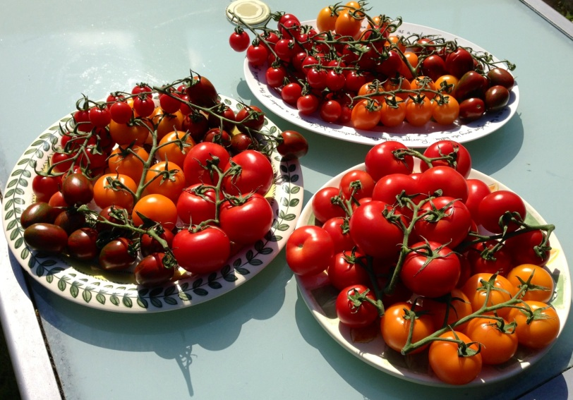 Tomatoes in the sunshine make a beautiful sight